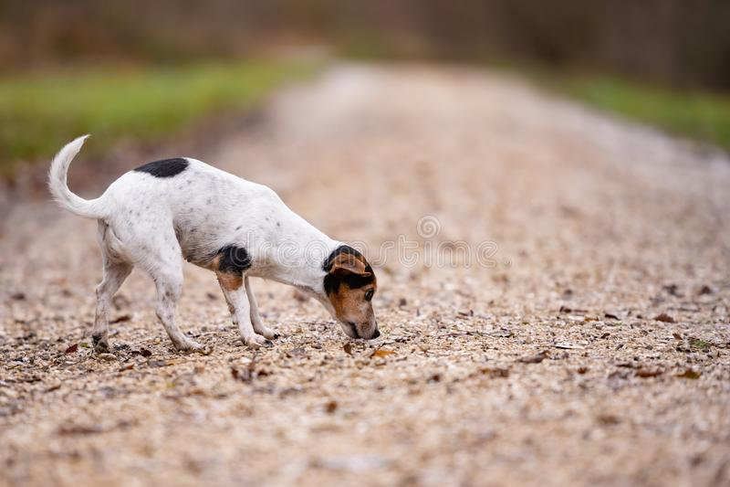 Собака терьера Джек Рассела милая следовать следом стоковая фотография