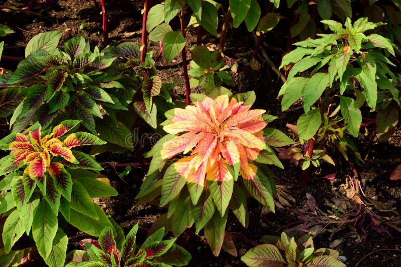 Tricolor Amaranthus royaltyfri fotografi