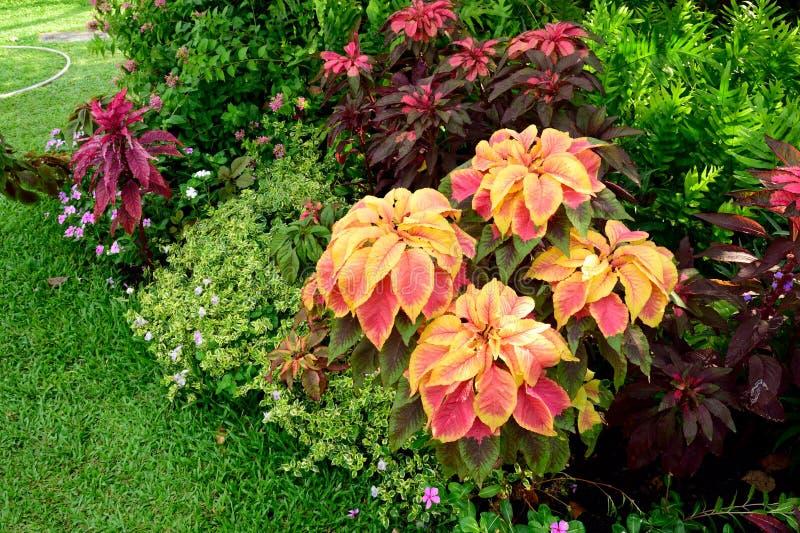 Tricolor Amaranthus royaltyfri foto