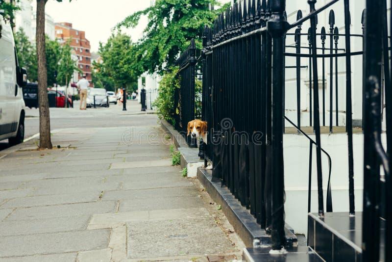 Tricolor Beagle dog peeking through the fence royalty free stock photo