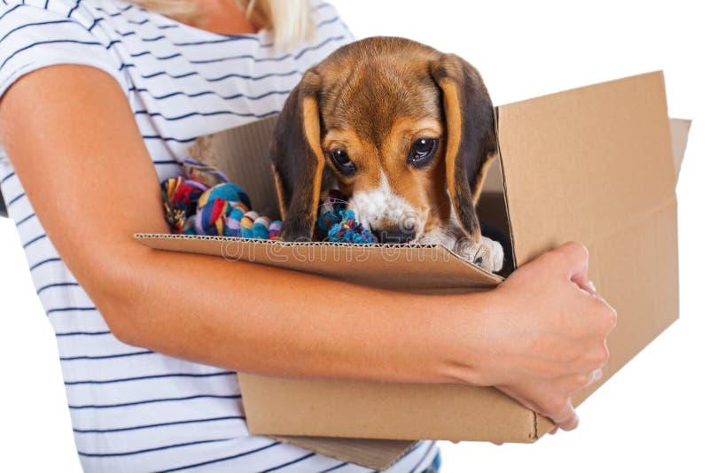 Tricolor beagle puppy in a box stock photos
