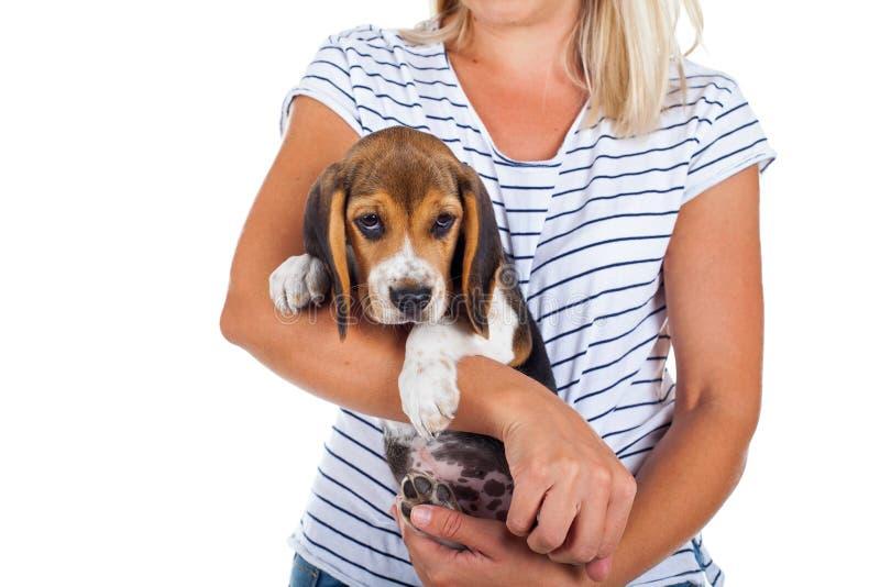 Tricolor beagle puppy stock photo