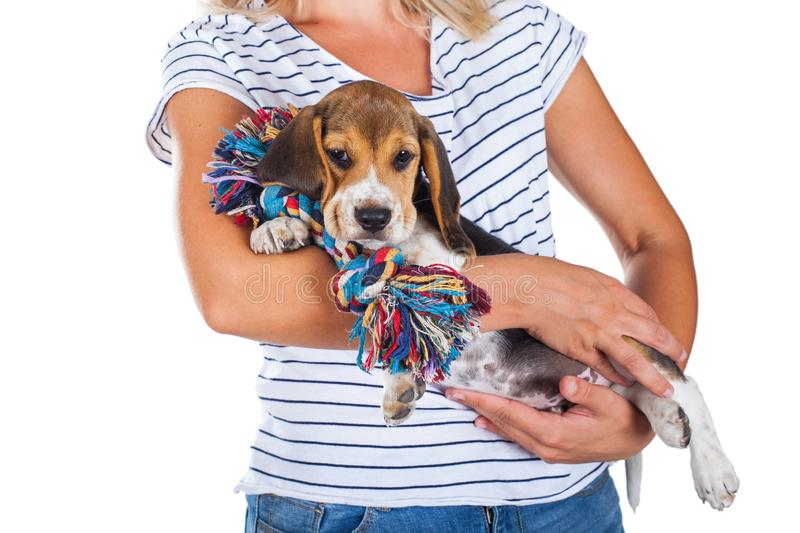 Tricolor beagle puppy royalty free stock photo