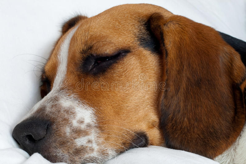 Download Tricolor Beagle Puppy Sleeping Stock Photo - Image: 14418964