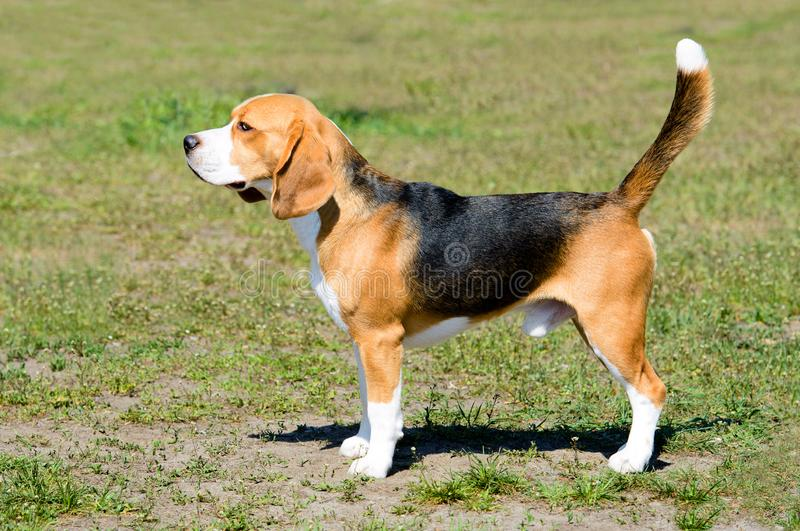 Beagle tricolor in profile. royalty free stock photo