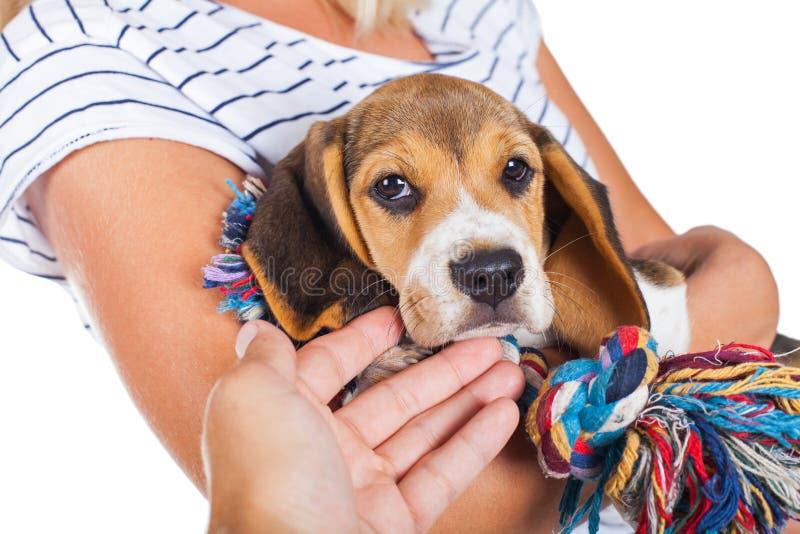 Tricolor beagle szczeniak zdjęcia royalty free
