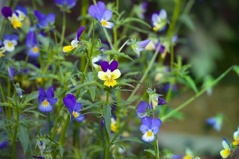 Tricolor blommor för Viola arkivfoto