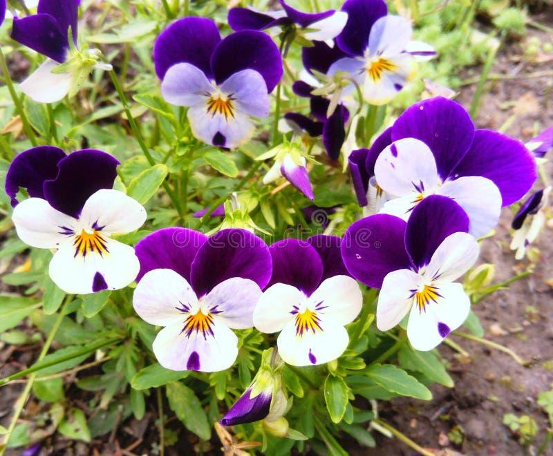 Tricolor blommor f?r Viola royaltyfria foton