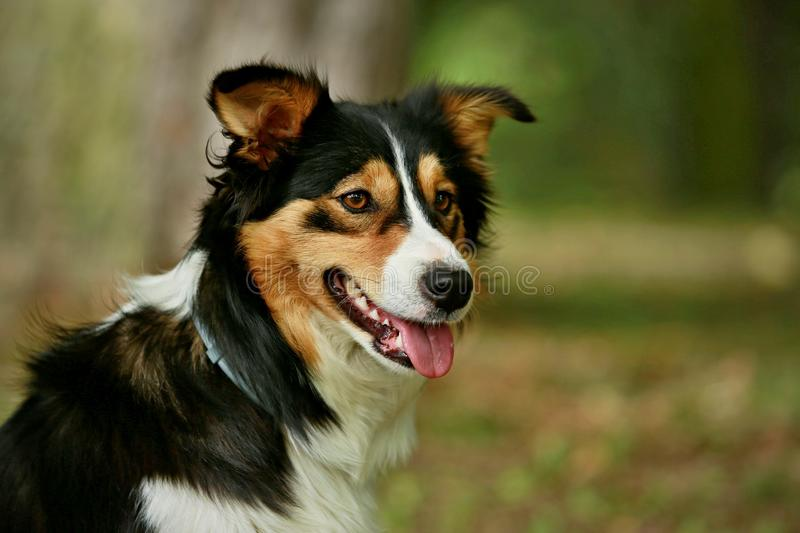 Tricolor Border collie fotografia royalty free