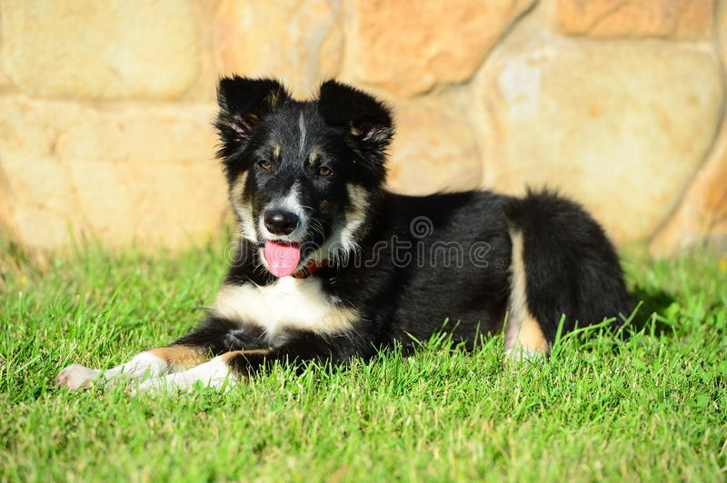 A Tricolor Border Collie Puppy Dog Laid Down Stock Image