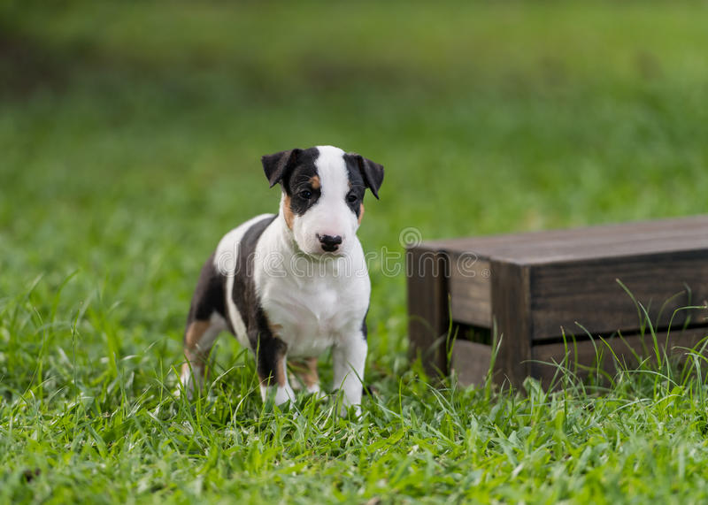 Tricolor Bull terrier szczeniak stoi blisko pudełka zdjęcia stock
