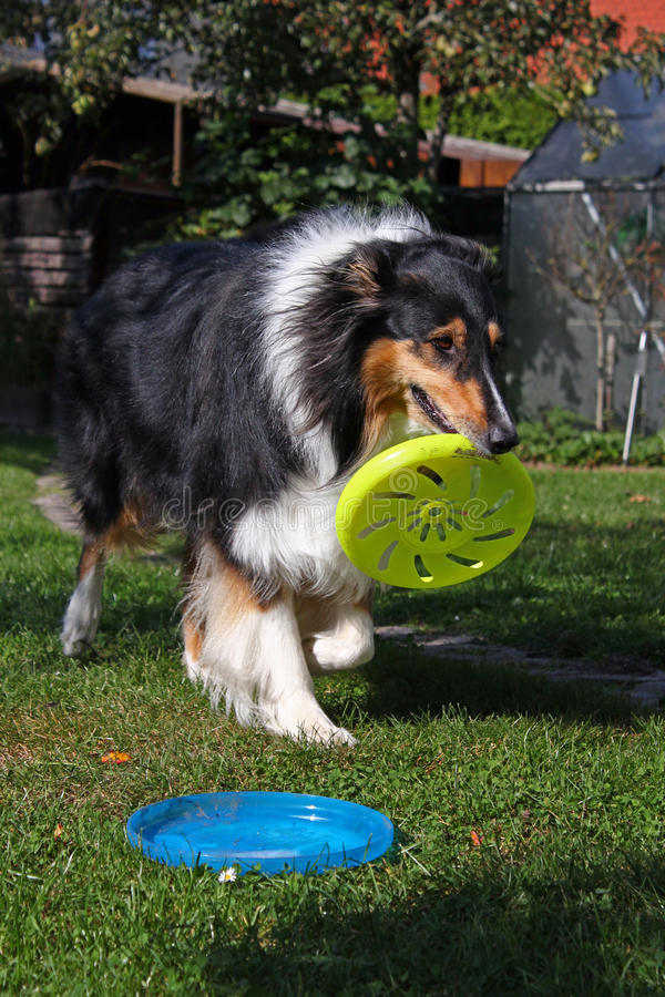 Tricolor collie stock photo