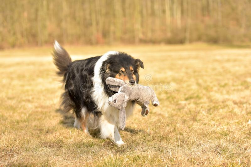 Collie Dog with rabbit royalty free stock images