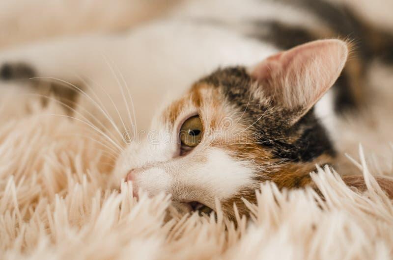 Tricolor domestic cat. Lazy sleepy pet. Close-up. stock image