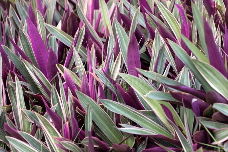 Tricolor Dwarf Oyster Plants. Tricolor Dwarf Oyster Plant, Tradescantia spathacea `Dwarf Tricolor`, is a highly variegated non-invasive form of the oyster plant stock photos