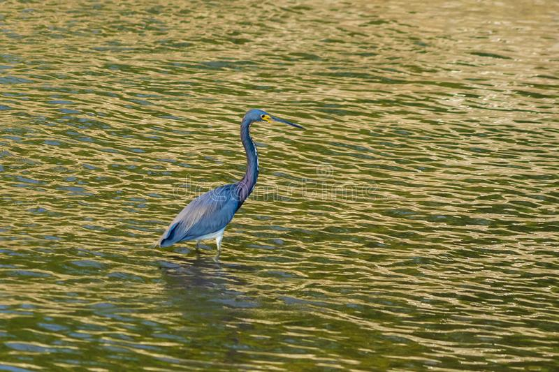 Tricolor Egret fishing in Huatulco marina, Mexico. royalty free stock photography