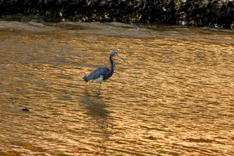 Tricolor Egret in Huatulco marina, Mexico. At the end of the day, good time to do some birdwatching in Huatulco marina, Mexico stock images