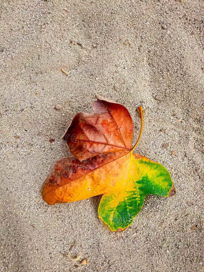 Tricolor Fall leaf laying on a clean sand background. Tricolor fall leaf laying on a clean  background, nature, colorful, outdoors, autumn, beach, yellow royalty free stock photo