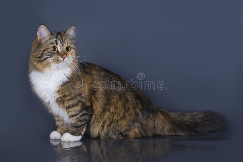 Tricolor fluffy Siberian cat isolated on a gray background stock image