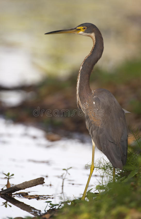 Free Tricolor Heron Royalty Free Stock Images - 13755719