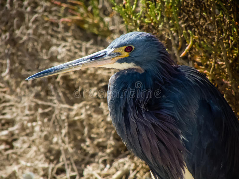 Tricolor heron royalty free stock photos