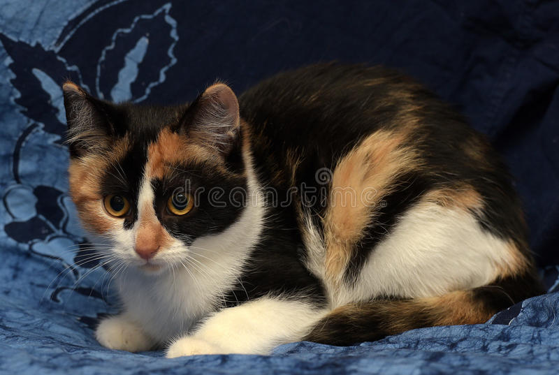 tricolor katt royaltyfri bild