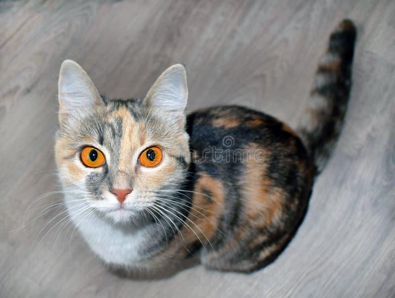 Tricolor katt för Ð-¡ ute med ljusa orange ögon arkivbild