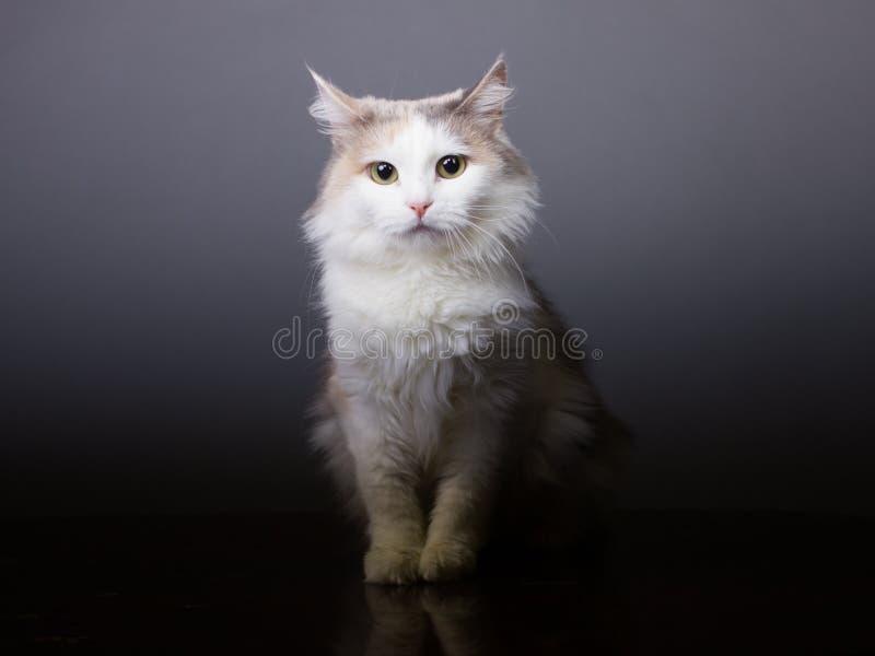 Tricolor katt som ser kameran, vitt husdjur arkivbilder
