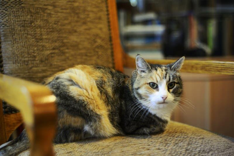 Tricolor katt som sitter i en stol arkivbild