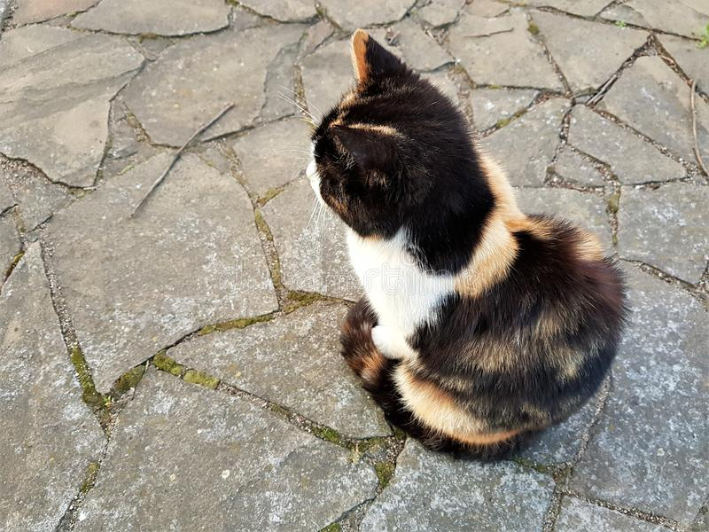 Tricolor katt som sitter på golvet av en lös sten arkivfoto