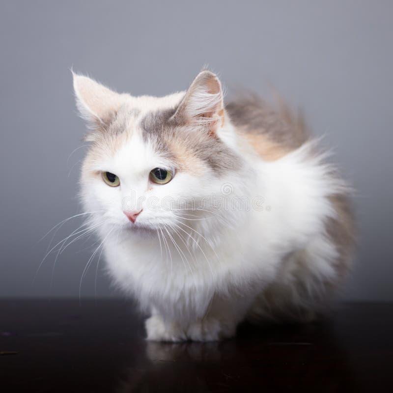 Tricolor kattblick som bort ser, vitt husdjur royaltyfria bilder