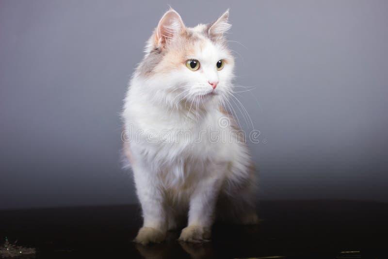 Tricolor kattblick som bort ser, vitt husdjur arkivfoton