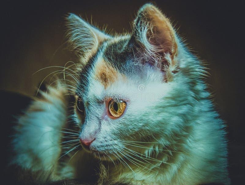 Tricolor kattunge för levande död arkivbilder