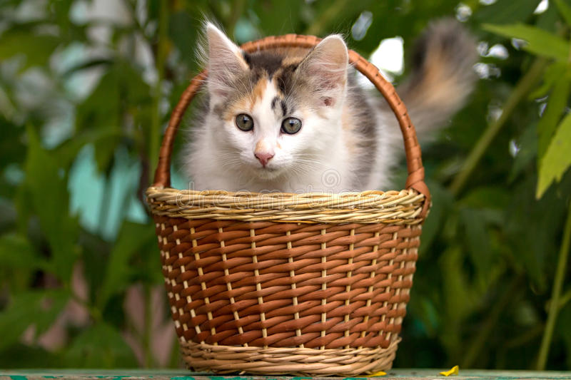 Download Tricolor kitten stock photo. Image of basket, grass, summer - 26495076