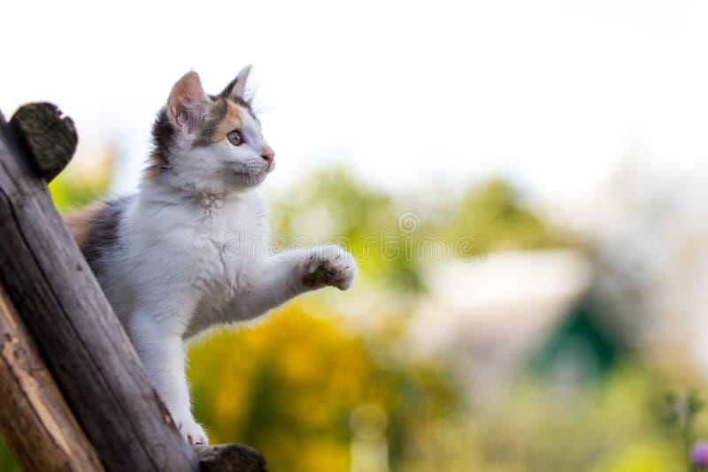 Tricolor Kitten Royalty Free Stock Photos