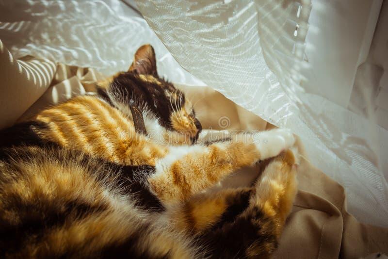 Tricolor kot śpi na windowsill beżowe zasłony, biały tiul, okno zamykali rolkowymi żaluzjami zbliżenia zwierzęcia domowego chłód  zdjęcia royalty free