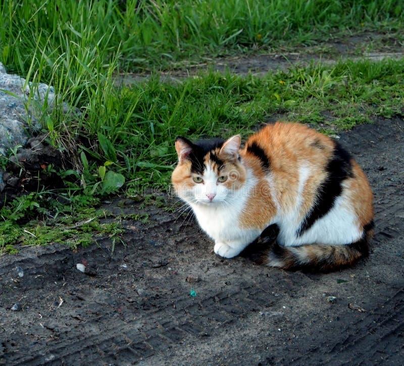 Tricolor kota obsiadanie na drodze gruntowej fotografia stock