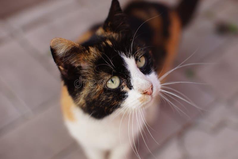 Tricolor kota portret, zbliżenie twarz z zielonymi oczami fotografia stock