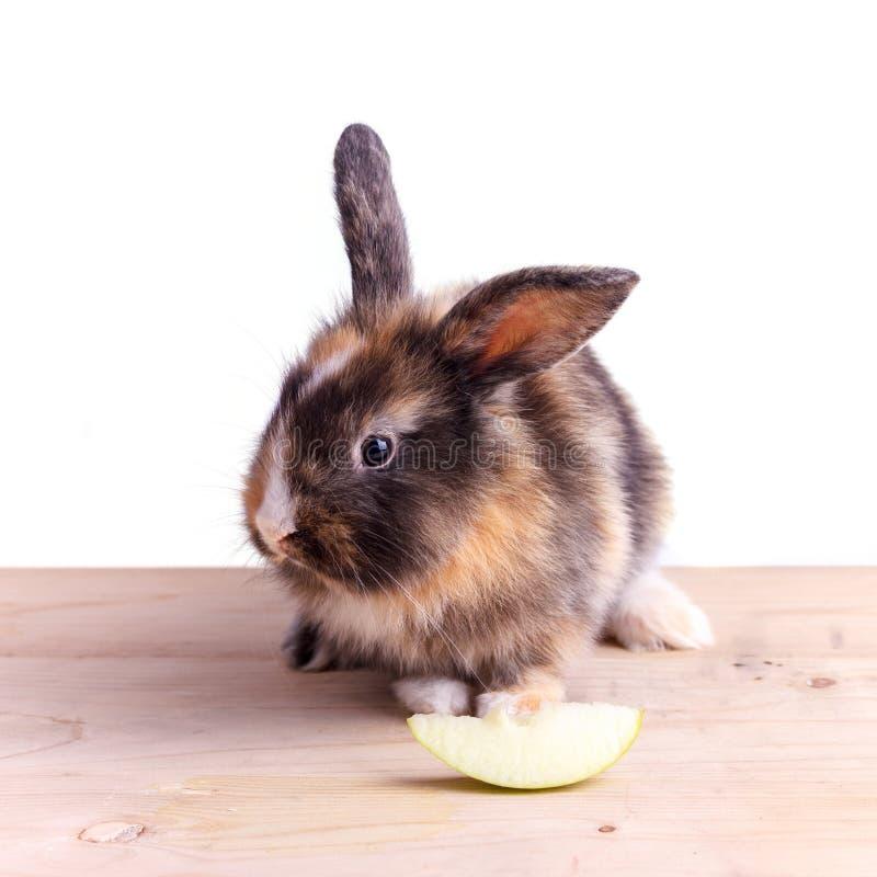 Tricolor królik z dużymi ucho je jabłka zdjęcia stock