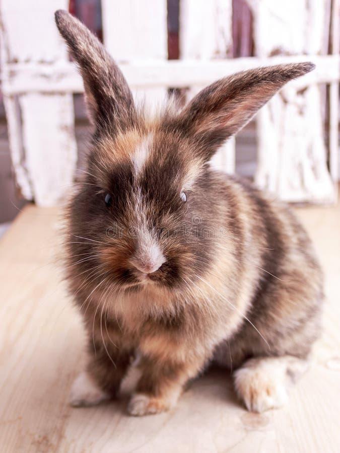 Tricolor królik z dużymi ucho na drewnianym tle zdjęcia royalty free
