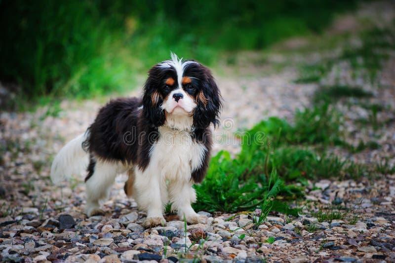 Tricolor nonszalancki królewiątka Charles spaniela pies relaksuje w lato ogródzie fotografia stock
