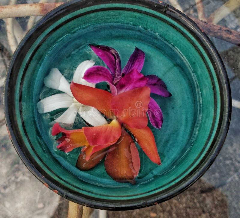 Tricolor orkidér royaltyfria bilder