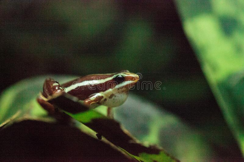 Tricolor poison dart frog Epipedobates tricolor. Also called the Phantasmal poison frog, is endemic to Ecuador stock photography