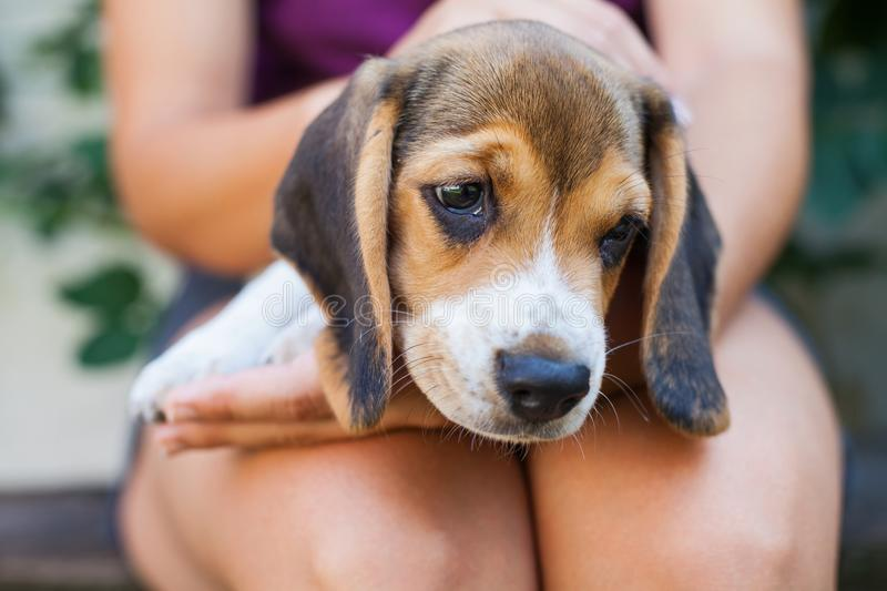 Tricolor purebred beagle puppy royalty free stock images