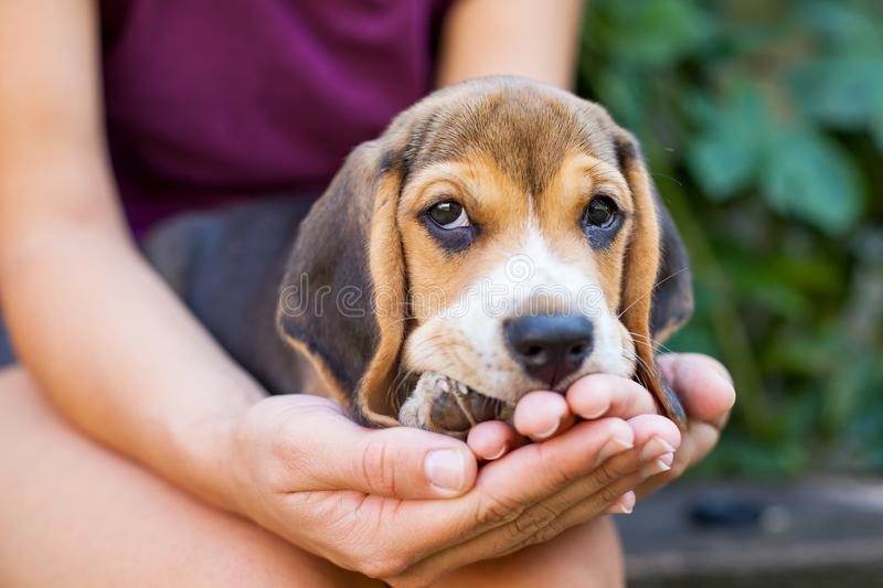 Tricolor purebred beagle puppy royalty free stock photos