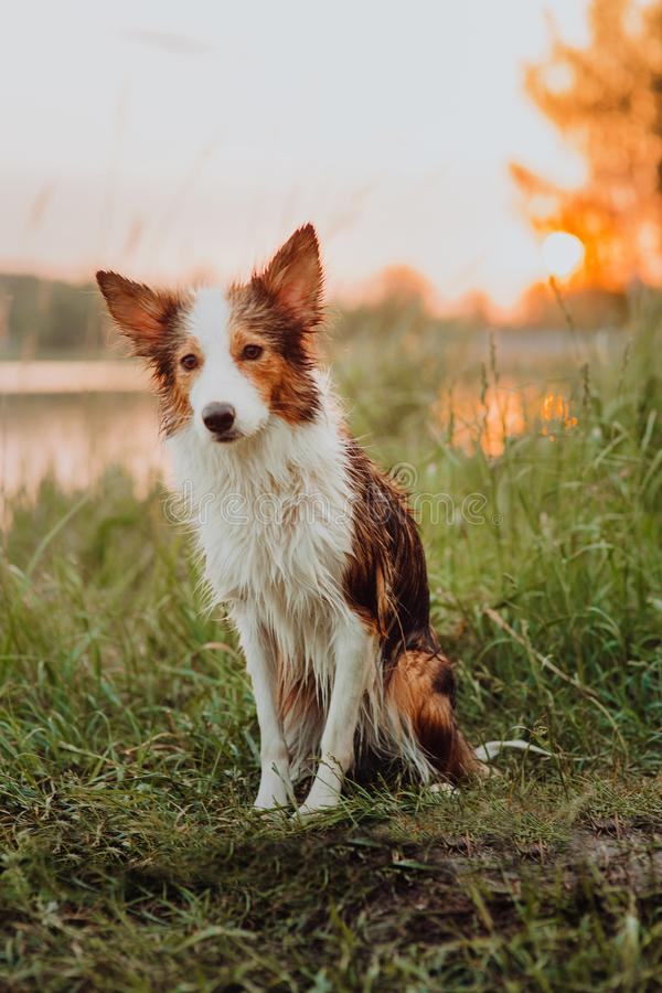 Tricolor raw border collie after swimming portrait royalty free stock photography
