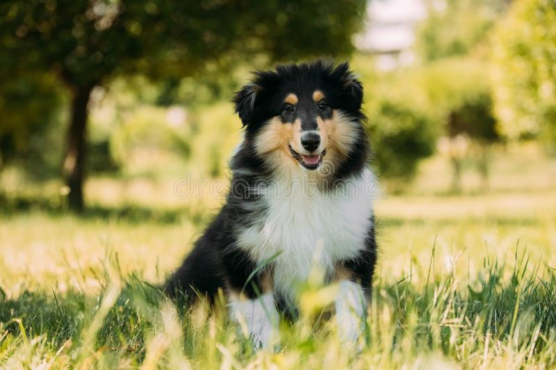 Tricolor Rough Collie Puppy, Funny Scottish Collie, Long-Haired stock images