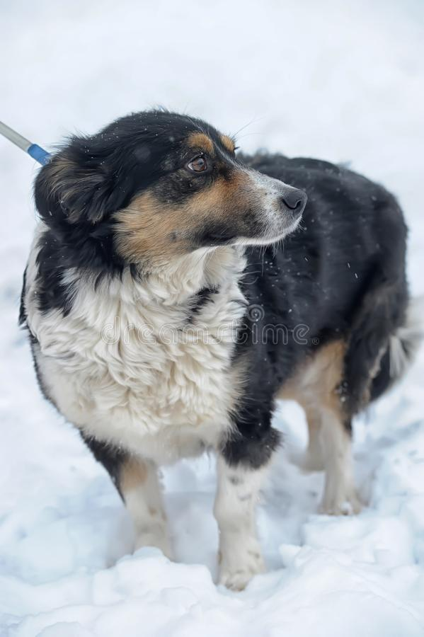 Tricolor sad dog pooch in the winter royalty free stock image
