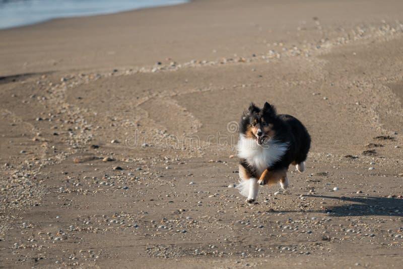 Tricolor Sheltie bieg na plaży zdjęcie royalty free