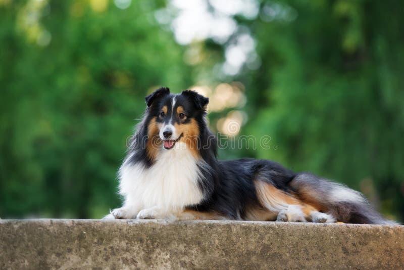 Tricolor sheltie hond in openlucht in de zomer stock afbeeldingen